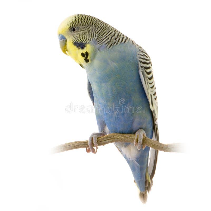 Blaues und gelbes budgie stockfotografie