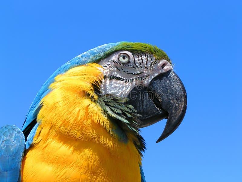 Blaues und gelbes Macaw-Papageien-Portrait lizenzfreie stockfotos