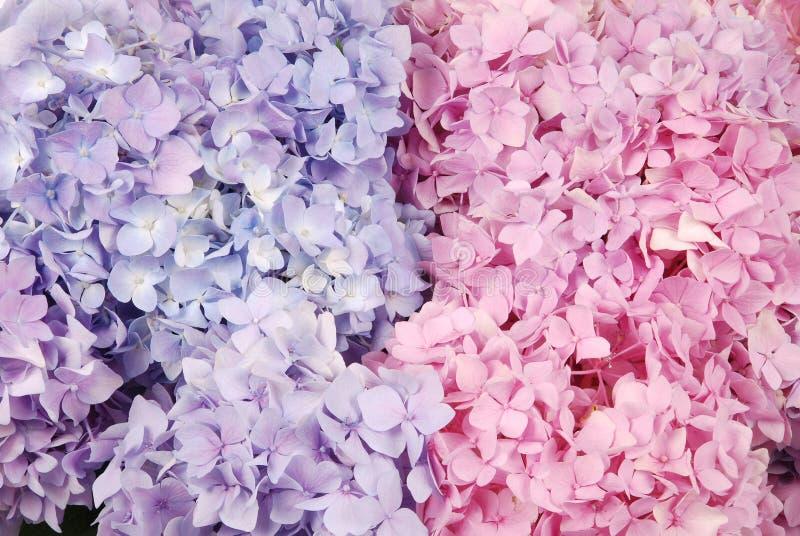 Blaues und rosa Hortensie macrophylla lizenzfreie stockfotos
