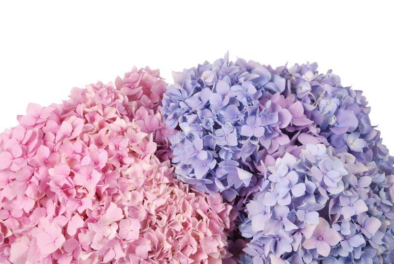 Blaues und rosa Hortensie macrophylla stockfotografie