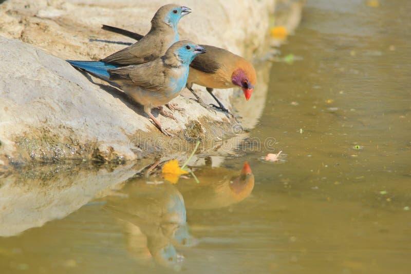 Blaues und Violett-ohriges Waxbill - wilder Vogel-Hintergrund von Afrika - Trio-Reflexion der Farbe lizenzfreie stockfotos