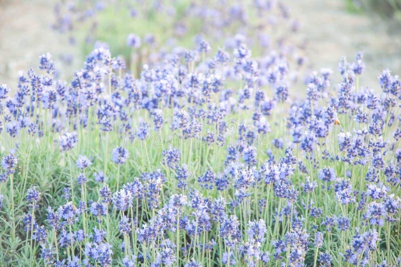 Blaues und violettes Lavendelfeld im sanften Licht lizenzfreie stockbilder