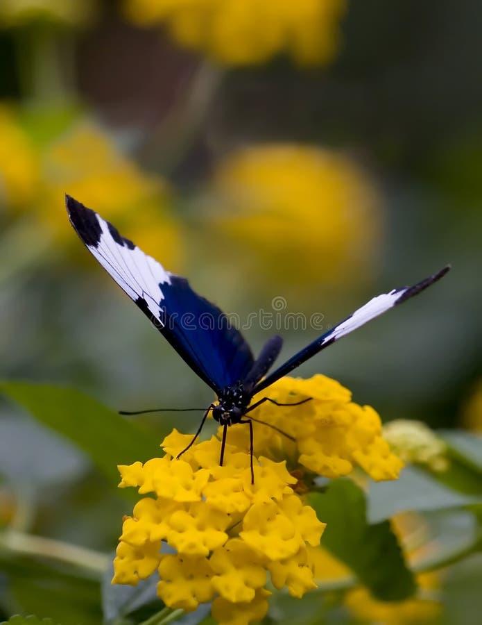 Blaues und weißes Butteryfly lizenzfreie stockfotos