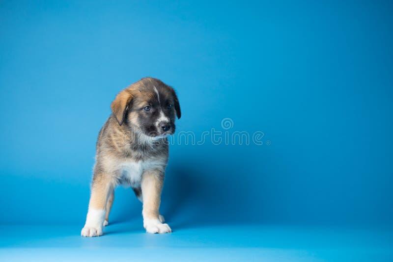 Blaues Welpe Studio lizenzfreies stockfoto