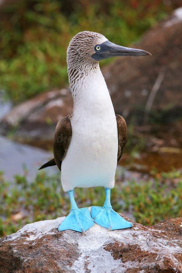 Blaufußtölpel auf Nord-Seymour Island, Galapagos-nationales PA stockbild