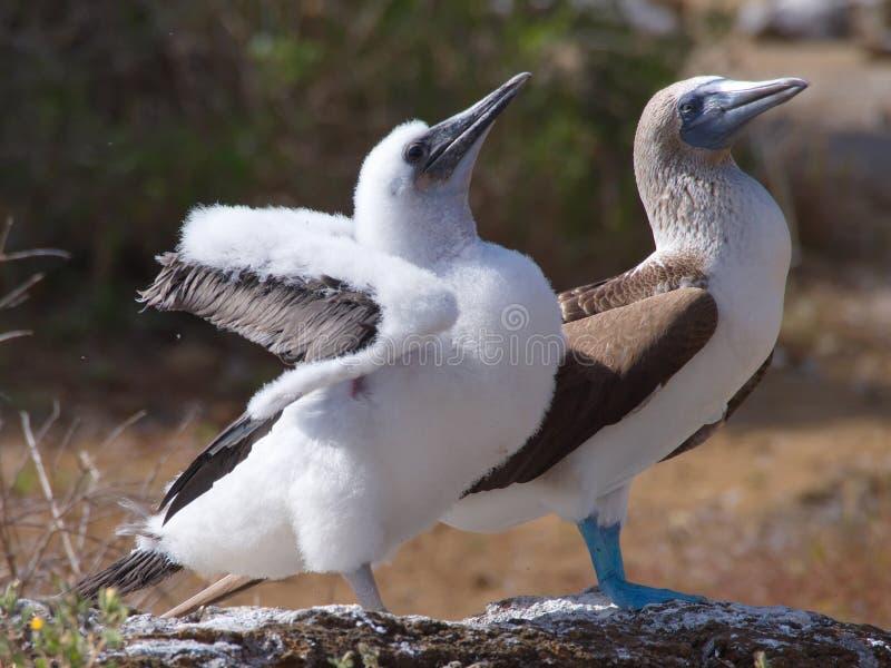 Blaufußtölpel Sula nebouxii, das mit Nachkommenschaft aufwirft lizenzfreie stockfotografie