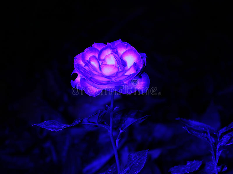 Blaulicht-Malerei auf Rose lizenzfreie stockfotografie
