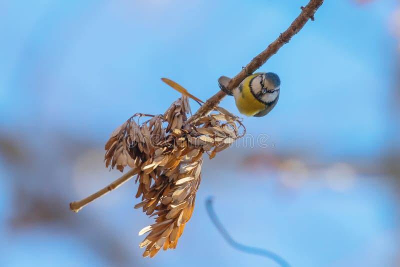 Blaumeise auf Niederlassung, eurasische Blaumeise, Cyanistes-caeruleus netter kleiner Vogel stockfotografie