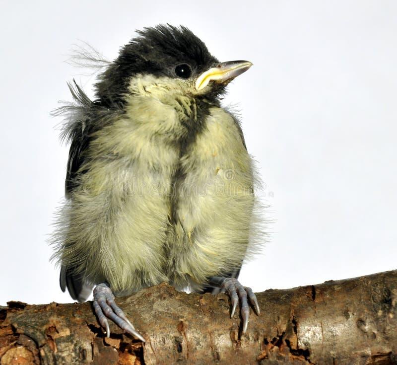 Blaumeise-gewordener Vogel stockbilder