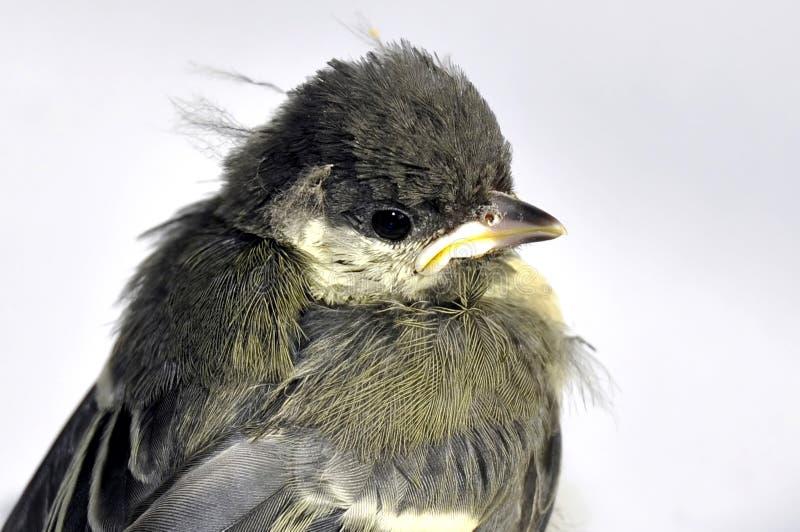 Blaumeise-gewordener Vogel lizenzfreie stockfotos