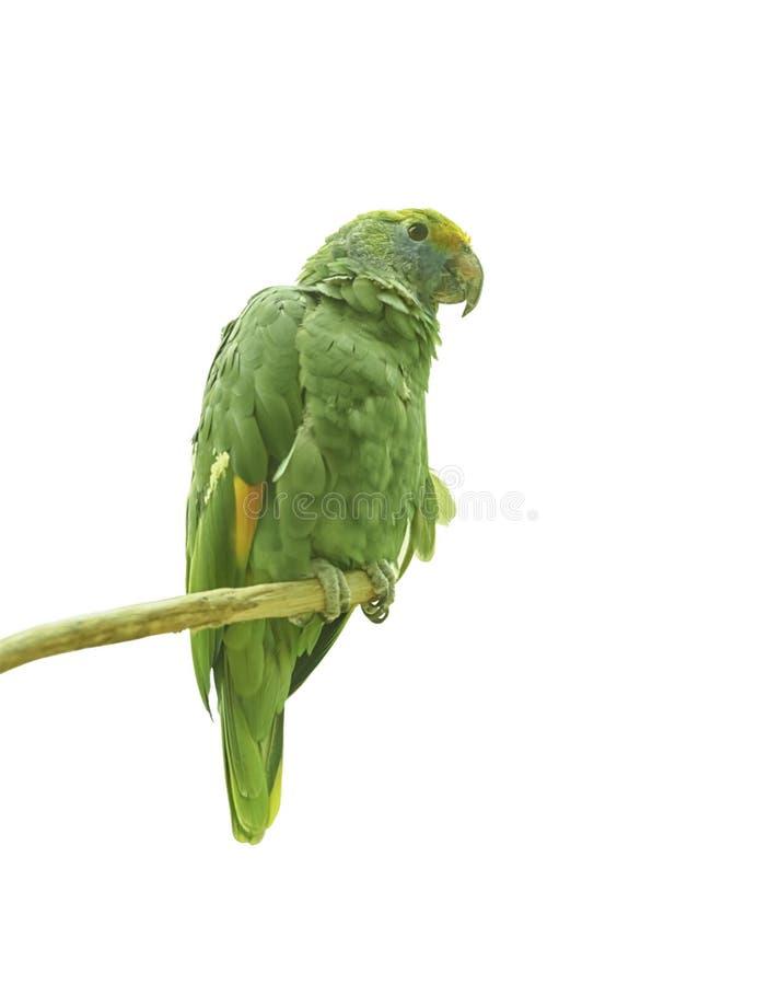 Blauw-Cheeked Amazonië, Amazona-dufresniana, blauw-cheeked papegaai, Amazonië van Dufresne, een papegaai inheems aan Noordelijk Z stock afbeelding