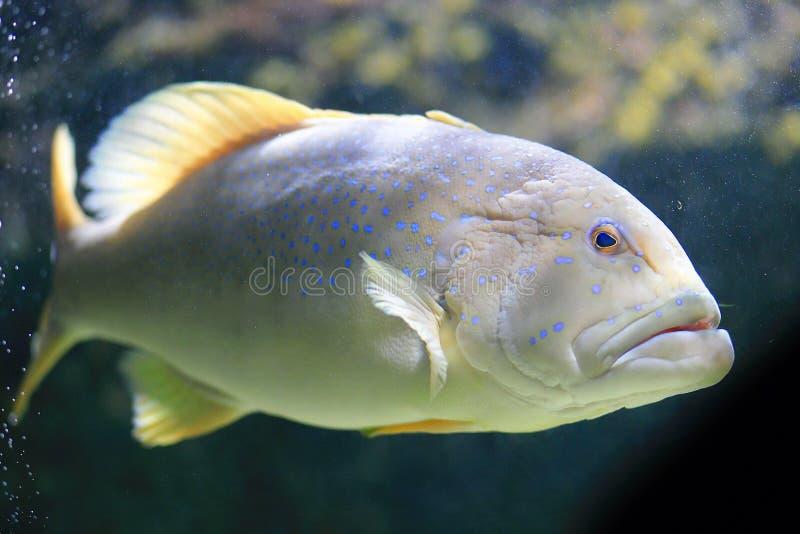 Blauw Dot Grouper, Blauwe Vlektandbaars, Achterste Pauw stock foto's