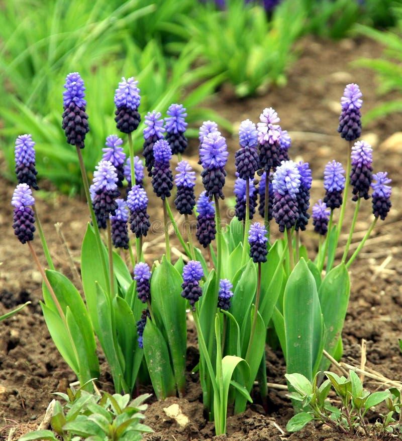 Blauw en de roze hyacint van de druif stock foto