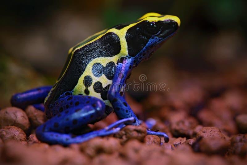 Blauw en geel Amazonië die Vergiftkikker, Dendrobates-tinctorius, in aardhabitat verven stock fotografie