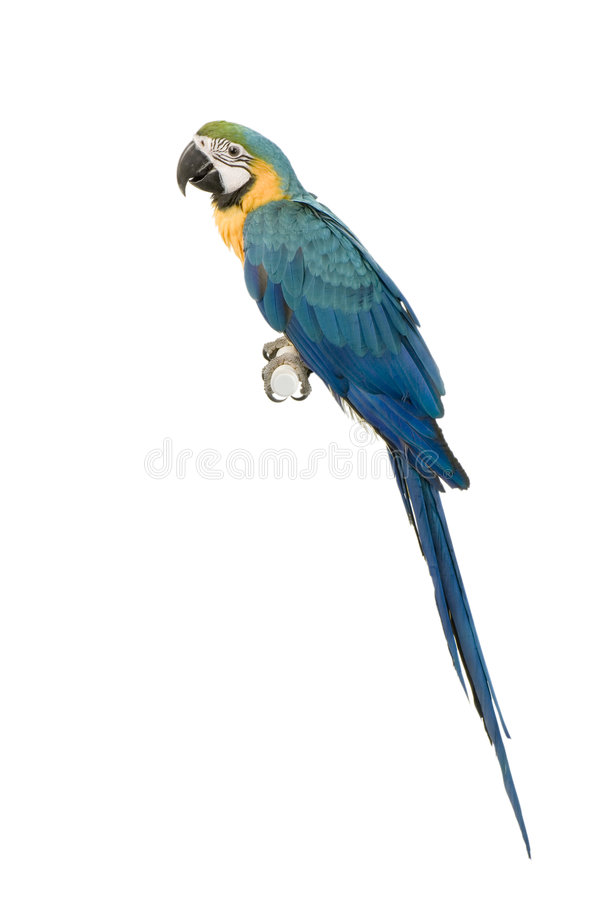 Blauw-en-gele Ara stock fotografie
