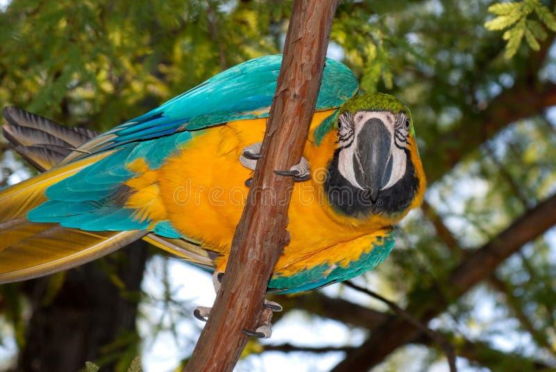 Blauw-en-gele Ara (ararauna van Aronskelken) royalty-vrije stock foto's