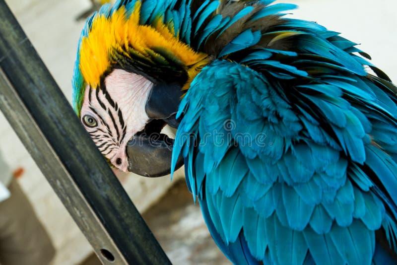 Blauw-en-gele ara - aronskelkenararauna - Beeld - Foto stock afbeelding