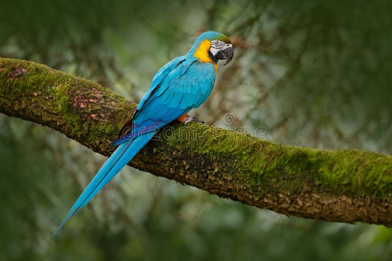Blauw-en-gele ara, Aronskelkenararauna, grote Zuidamerikaanse papegaai stock foto's