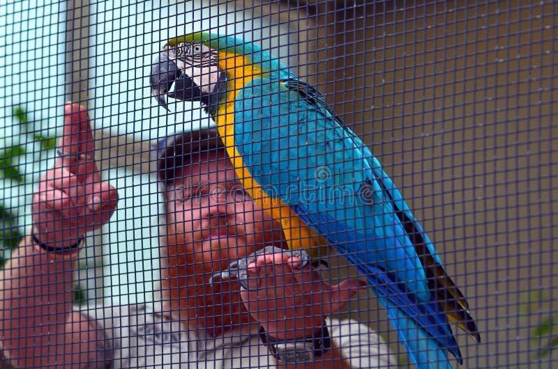 Blauw-en-gele ara met een vogelstrainer stock fotografie