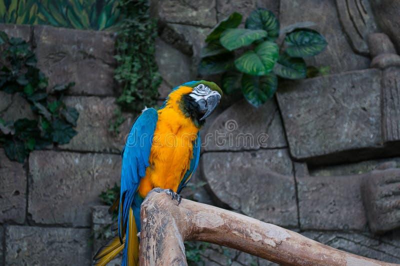 Blauw-en-gele Ara Mooie ara'spapegaai op boomtak tegen wildernisachtergrond royalty-vrije stock foto
