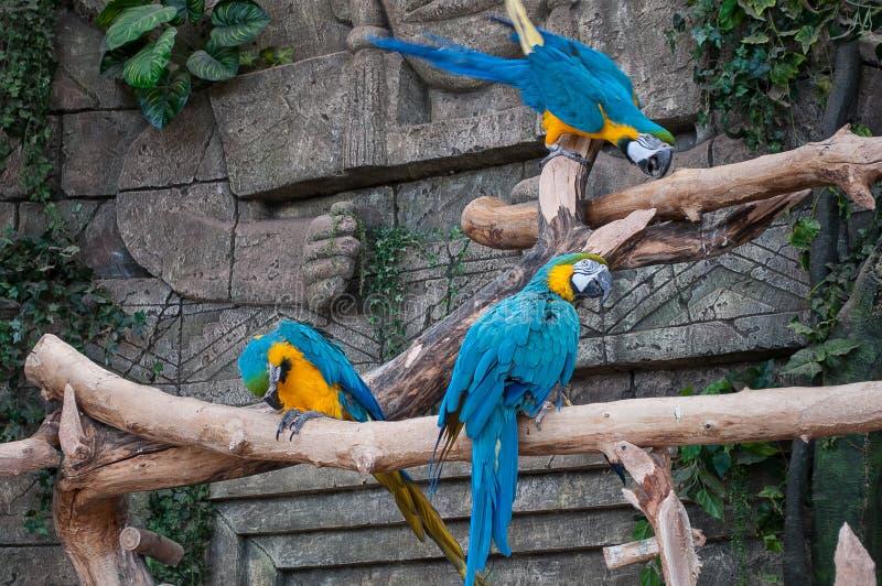 Blauw-en-gele Ara Mooie ara'spapegaai op boomtak tegen wildernisachtergrond royalty-vrije stock afbeeldingen