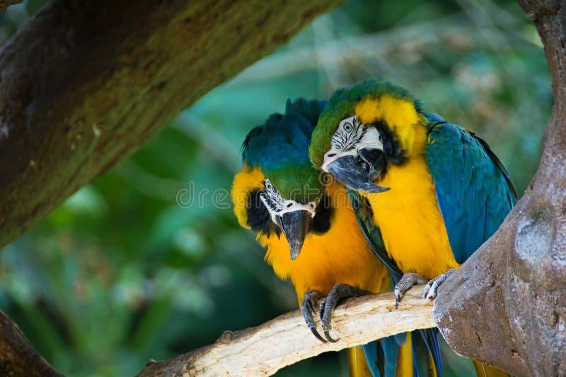 Blauw-en-gele Ara's stock afbeeldingen