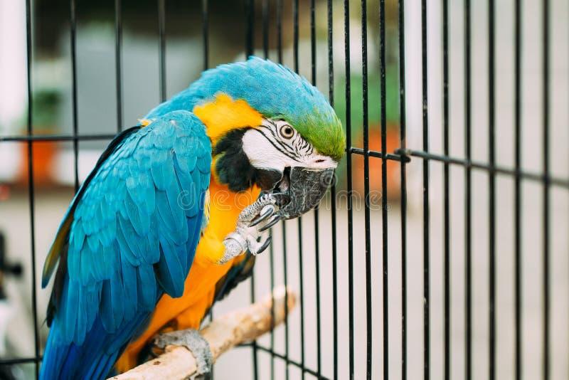 Blauw-en-gele die Ara ook als de blauw-en-Gouden Ara in Dierentuin wordt bekend stock afbeelding