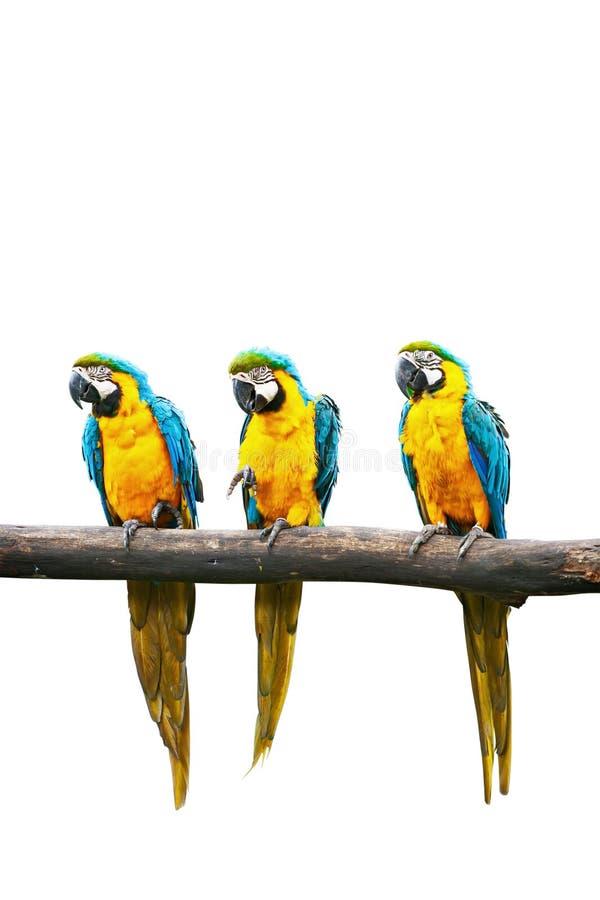 Blauw-en-gele geïsoleerdei Ara stock fotografie