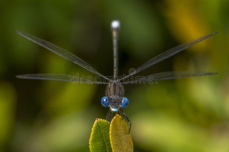 Blauw-eyed Bevlekte Spreadwing royalty-vrije stock afbeelding