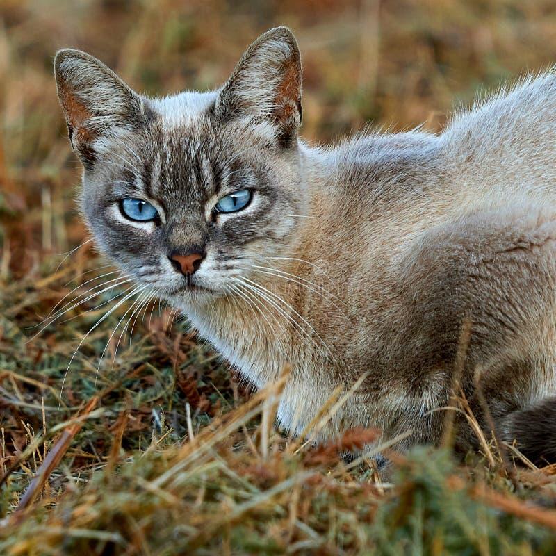 Blauw-eyed Cat Looking in Uw Ogen stock foto's