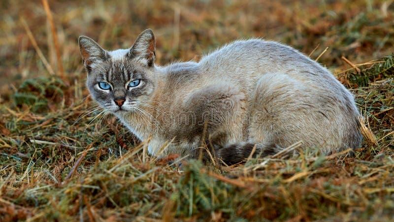 Blauw-eyed Cat Looking in Uw Ogen royalty-vrije stock foto