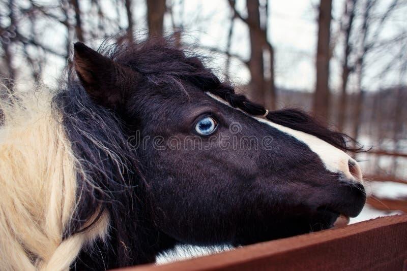 Blauw-eyed gevlekte poney met gevlechte manen op het close-up van het de winterlandbouwbedrijf stock afbeeldingen