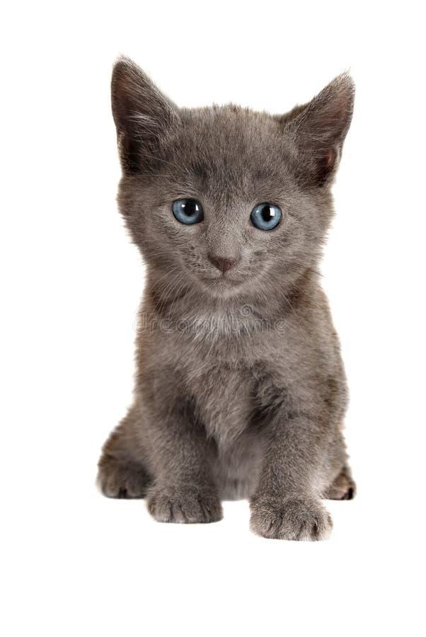 Blauw Eyed Grijs Katje op Wit stock afbeeldingen