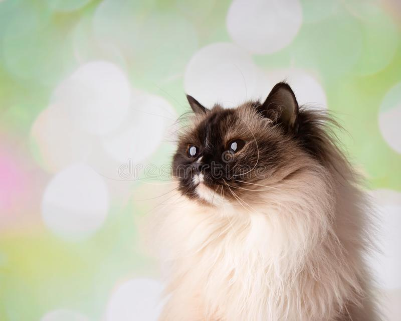 Blauw Eyed Ragdoll-Ras Cat Close Up Face Looking omhoog stock foto's