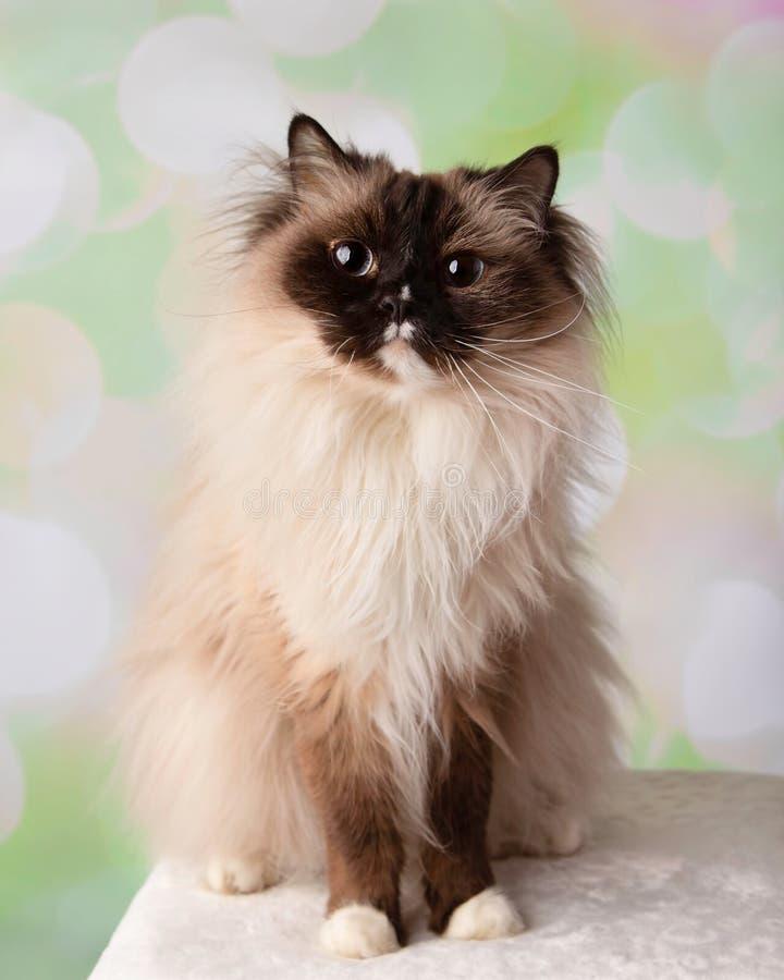 Blauw Eyed Ragdoll-Ras Cat Sitting Down Wide Eyes royalty-vrije stock foto's