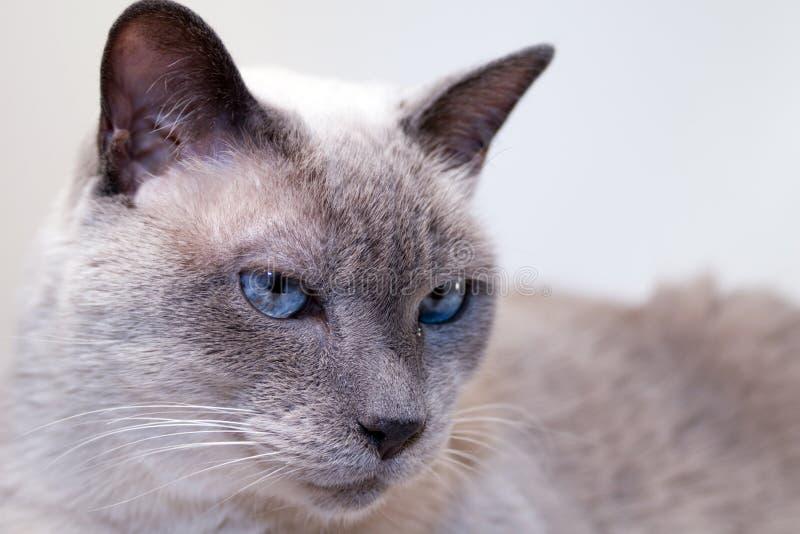 Blauw-Eyed Siamese Kat stock afbeelding