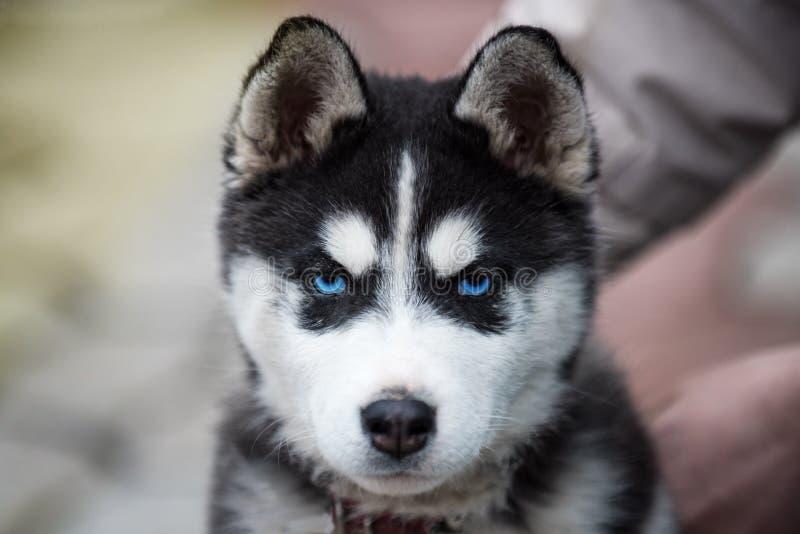 Blauw-eyed Siberisch schor puppyhoofd 8 weken oud wijfjes headshot met purpere leiband en zandige strandachtergrond stock afbeeldingen