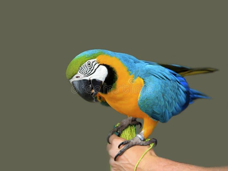 Blauw-gele arapapegaai op de hand Geïsoleerd op het grijs royalty-vrije stock foto
