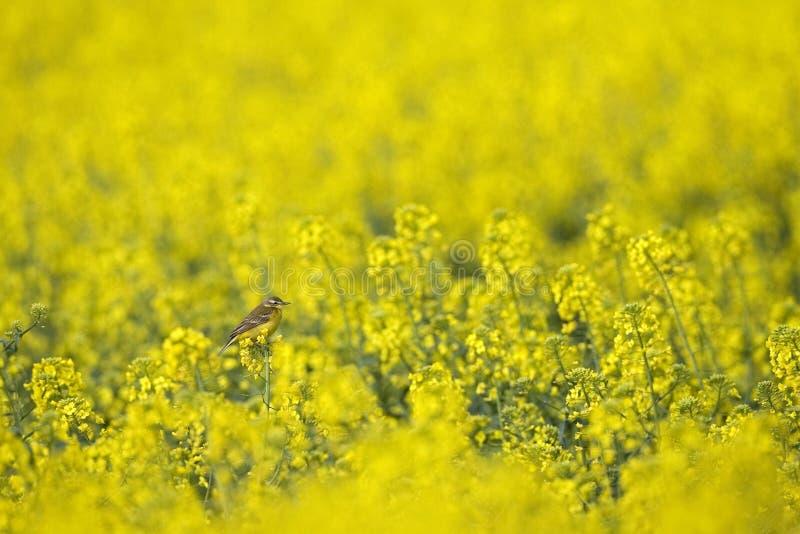 Blauw-geleide Kwikstaart, Gele Kwikstaart, Motacilla-flava stock afbeeldingen