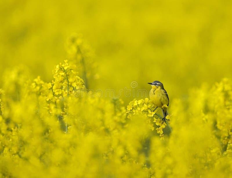 Blauw-geleide Kwikstaart, Gele Kwikstaart, Motacilla-flava royalty-vrije stock foto