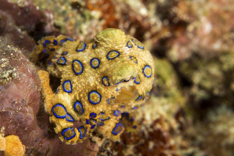 Blauw-geringde octopus stock afbeelding