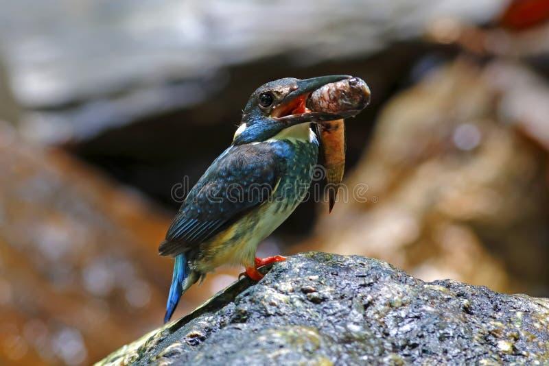 Blauw-gestreepte euryzona Mannelijke Vogels die van Ijsvogelalcedo vissen vangen stock foto's