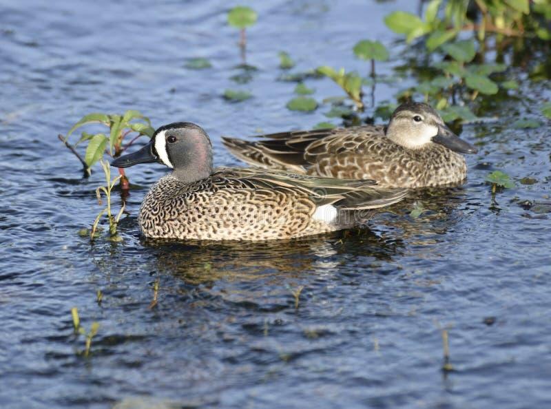 Blauw-gevleugeld Teal Ducks royalty-vrije stock afbeelding