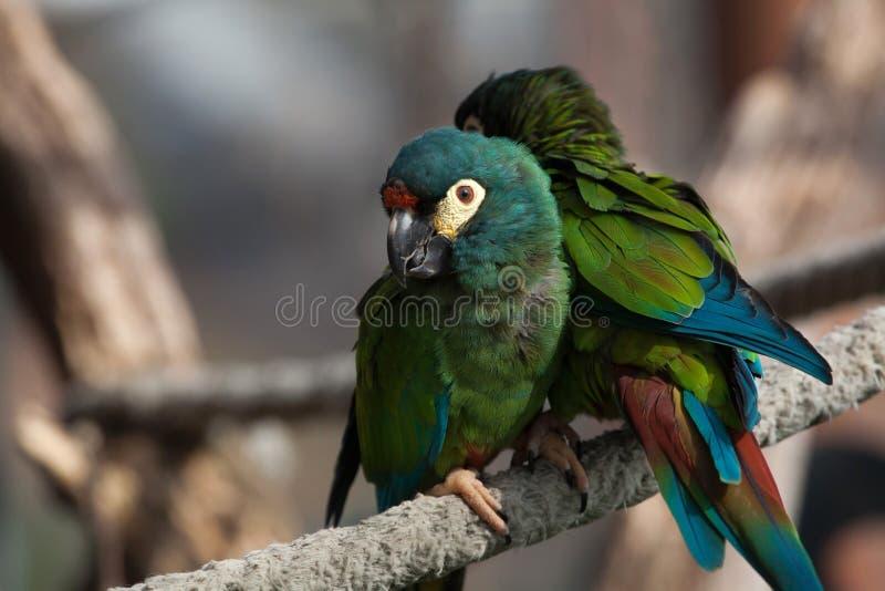 Blauw-gevleugelde die ara (Primolius-maracana), ook als Illige wordt bekend stock foto's