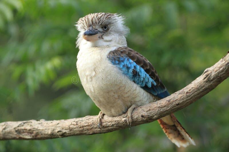 Blauw-gevleugelde kookaburra stock foto's