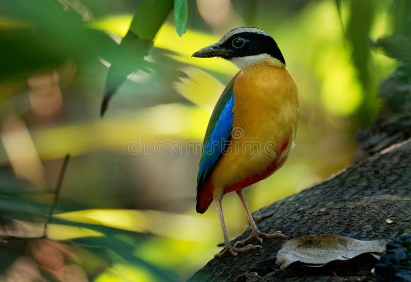 Blauw-gevleugelde passerinevogel van Pitta - Pitta-van moluccensis in de familie Pittidae inheems aan Australië en Zuidoost-Azië royalty-vrije stock afbeelding