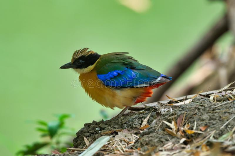 Blauw-gevleugelde Pitta Een Kleurrijke Vogel stock afbeelding