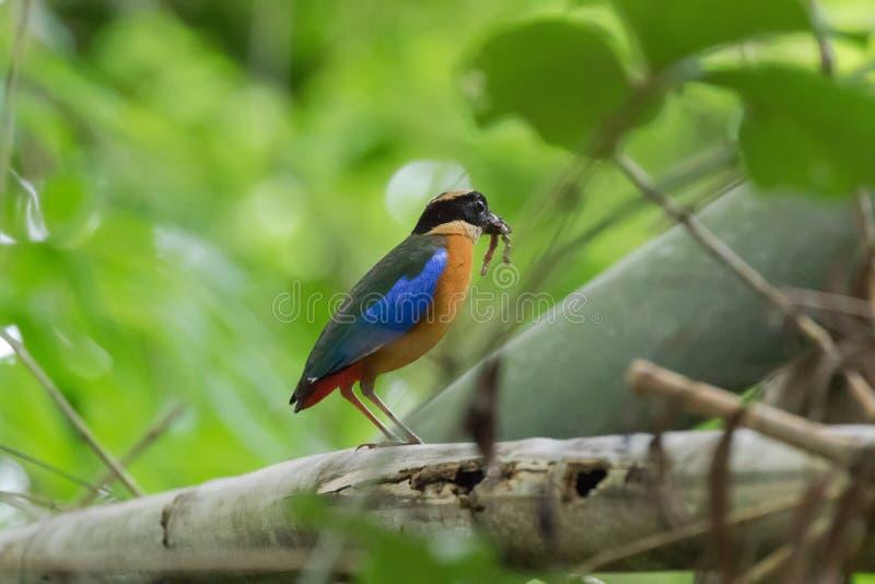 Blauw-gevleugelde Pitta-vogel in mooie bruine en blauwe vleugel met wor stock fotografie
