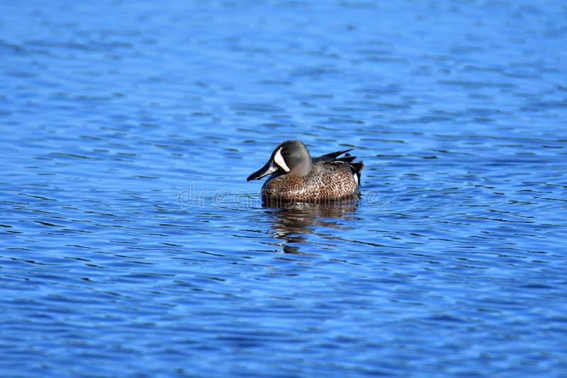 Blauw-gevleugelde Wintertaling stock foto