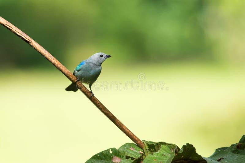 Blauw Gray Tanager royalty-vrije stock fotografie
